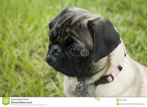 pug aggression aggressive pug breeds picture