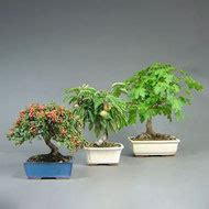 Bonsai Für Den Garten 53 by Garten Bonsai Kaufen Versandhandel Www Bonsai Hassler De