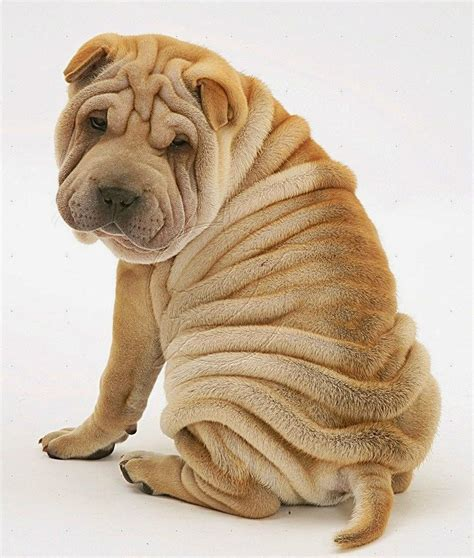wrinkly puppies the 5 most wrinkly breeds