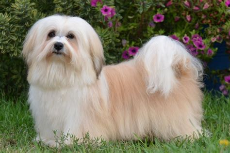 classical havanese classical havanese co owned and or bred by