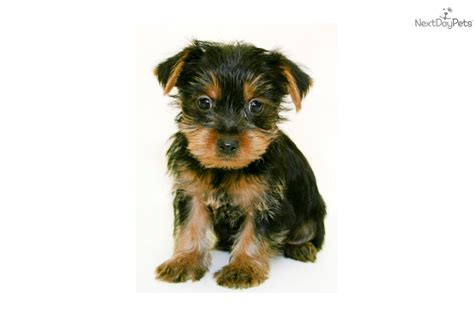 yorkie puppies for 200 or less meet monte a terrier yorkie puppy for sale for 399 teacup monte aca