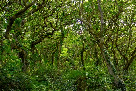 woodland trees grove of oaks in milllook woods cornwall trees and