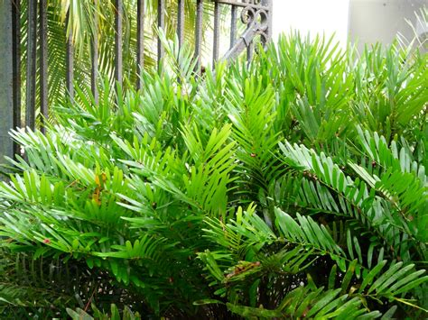 florida native plant society blog coonties captivating cycads