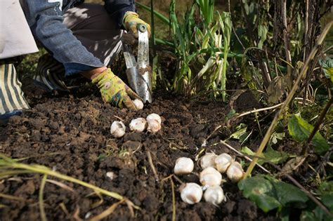 What Is Planters by What Is A Bulb Planter When And How To Use A Bulb