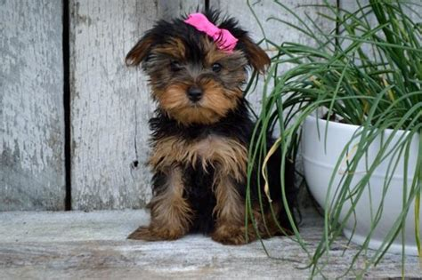 free yorkie puppies in arkansas adorable terrier pups craigspets
