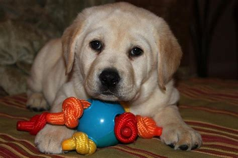 american lab puppies for sale in michigan akc labrador puppys for sale located in allegan mi we may your next