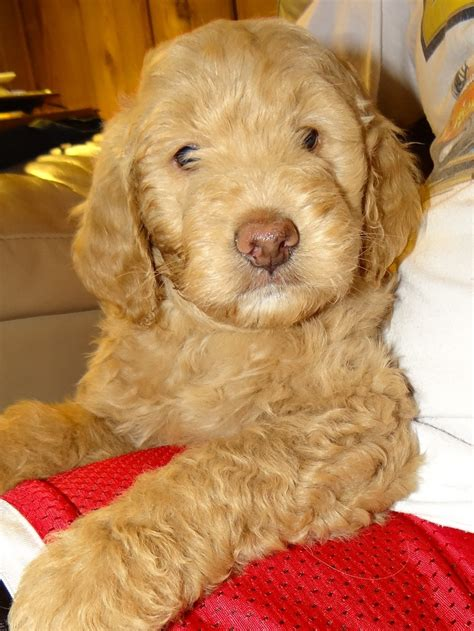 mini doodle f1b mini f1b goldendoodle brewer s goldendoodles