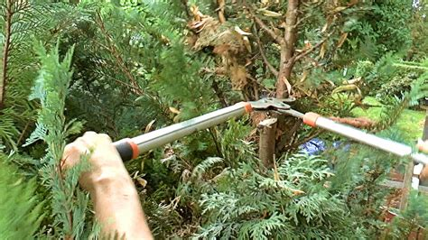thuja brabant schneiden we cut today thuja hedge wir schneiden heute thuja hecke