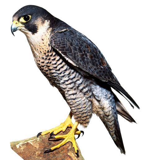 images of a falcon types of falcon falcon facts dk find out