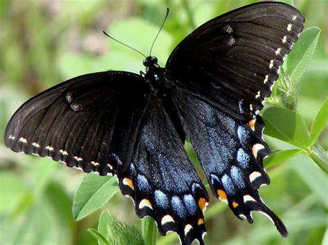 imagenes de mariposas blancas y negras mariposas mensajeras misterio animal misterio animal