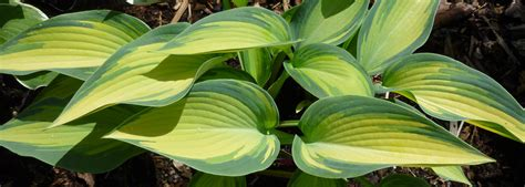 can hostas survive in sun 28 images hosta plants