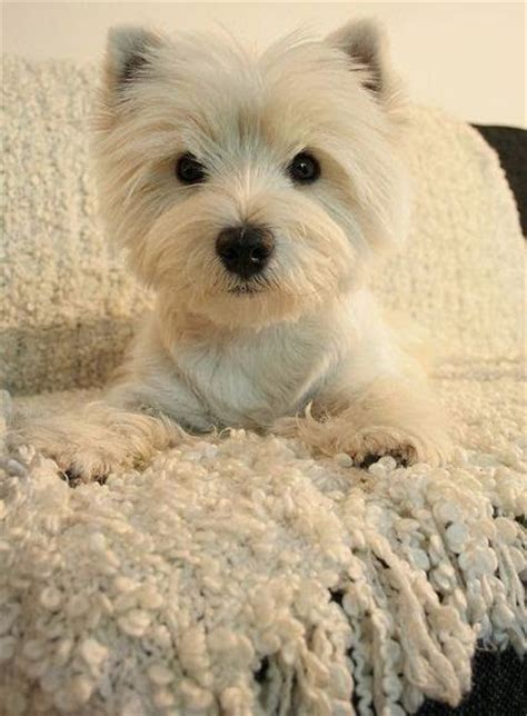 hypoalergenic dogs top 10 best hypoallergenic breeds breeds picture