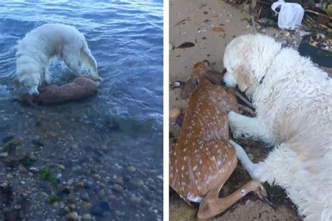rescues deer rescues adorable baby deer from drowning wavy tv