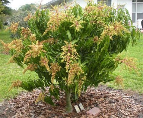 cara membuat manisan mangga manalagi 1281 best images about garden world 花园 on pinterest