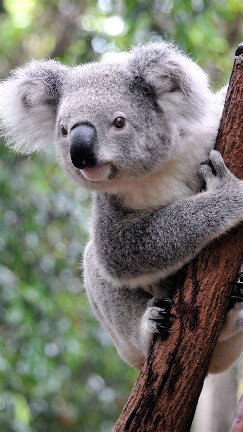 Wallpaper Iphone Koala | curious koala iphone 5 wallpapers backgrounds 640 x 1136