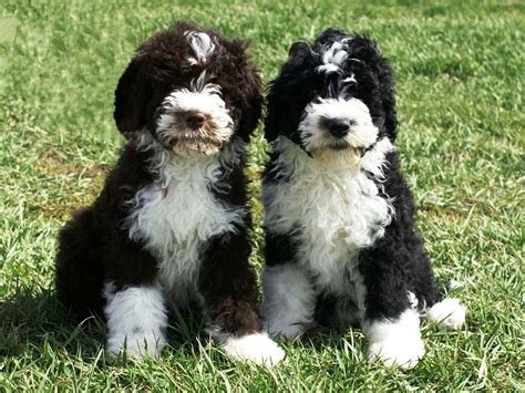 portuguese water puppies for sale success portuguese water dogs portuguese water puppies for sale