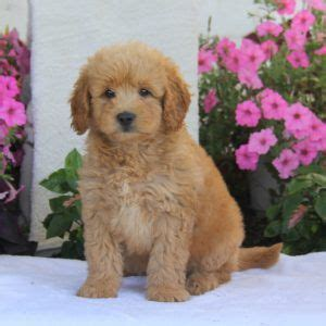 mini goldendoodle new jersey 25 best ideas about miniature labradoodle for sale on