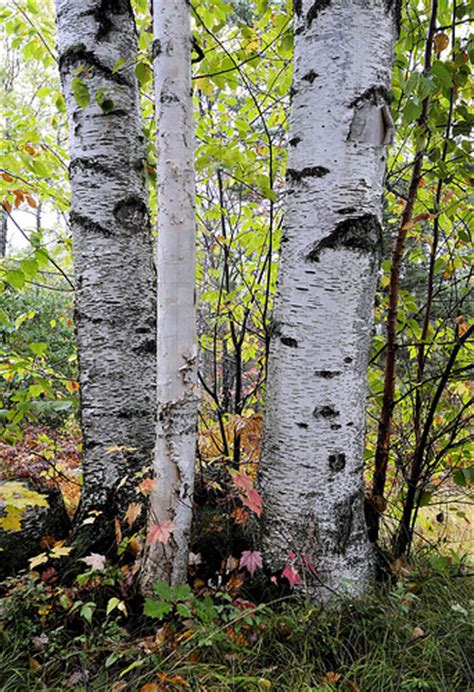 cluster exeter 9 tree birch tree cluster flickr photo