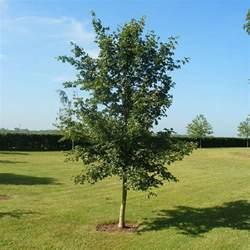 Backyard Pergolas Acer Campestre 201 Rable Champ 234 Tre En Vente Sur Plantes