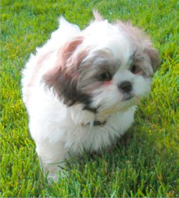 shih tzu likes and dislikes luchia hana derrick daydream hotel a on rpg