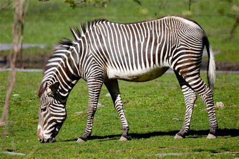 animal wildlife zebra  images  facts