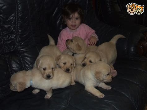 golden retriever puppies swansea golden retriever puppies swansea swansea pets4homes