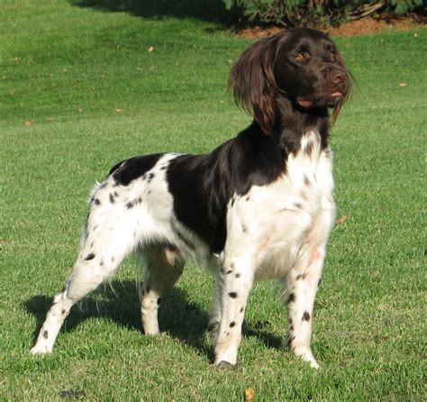 small munsterlander puppies for sale kleine small munsterlander puppies and dogs for sale kleine munsterlander