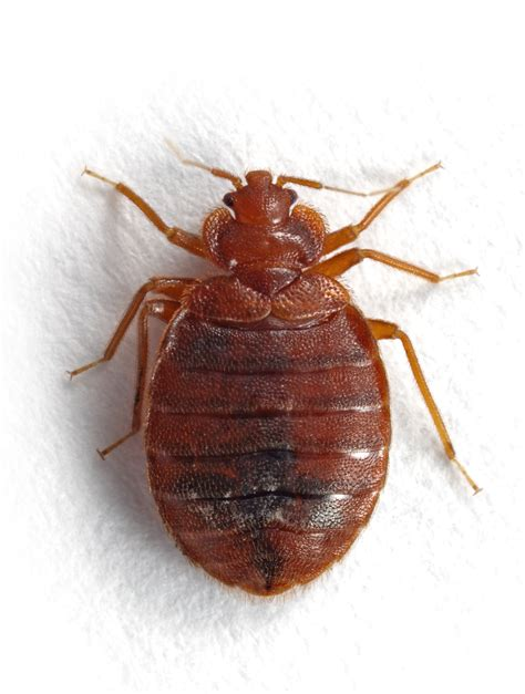 Tick Vs Bed Bug bed bug vs tick pictures to pin on pinsdaddy