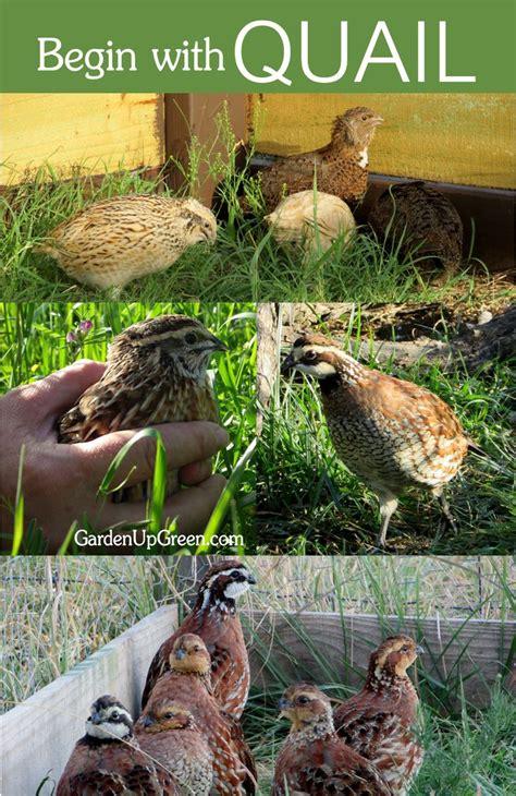 Backyard Chickens Quail 17 Best Ideas About Raising Quail On Quail