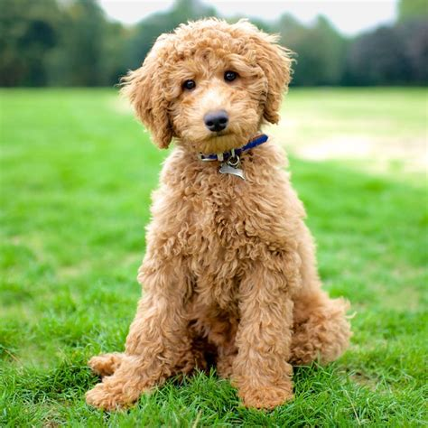 labradoodle puppies florida labradoodle dogs in florida breeds picture