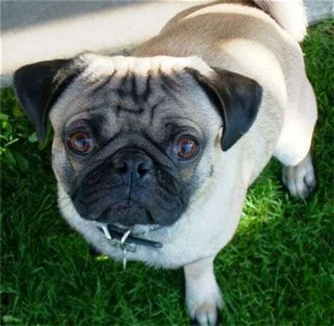 where to buy a pug puppy uk pug puppies 13 breeds picture