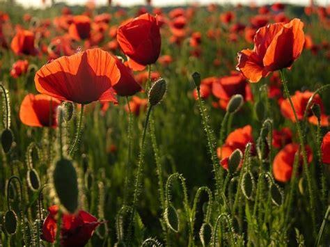 fiore all occhiello significato il significato dei fiori papavero rosso le mie meraviglie
