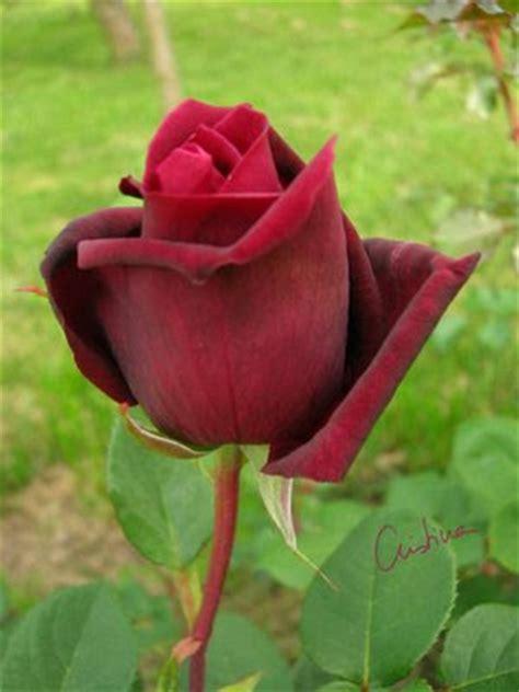 imagenes de rosas terciopelo d 237 as de rosas una rosa de terciopelo president