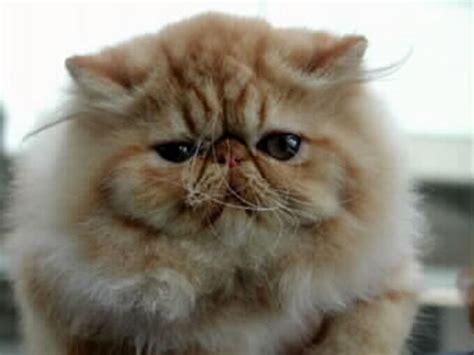 allevamento gatti persiani allevamento diciotto carati gatti persiani