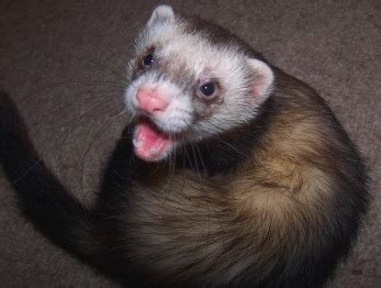 ferret world blog learn how to keep your ferrets healthy