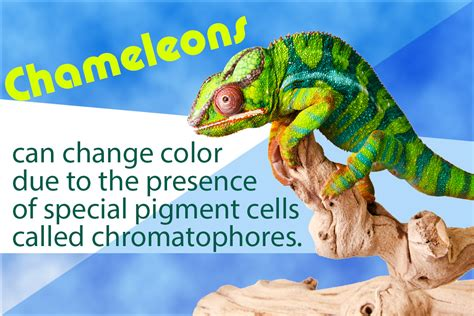 how and why do chameleons change color the mystery