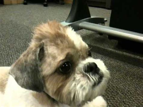 shih tzu mohawk gizmo the shih tzu mohawk 2 0 with gel 4 years