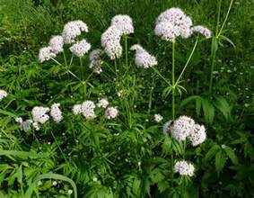How to grow valerian growing valerian balcony garden web
