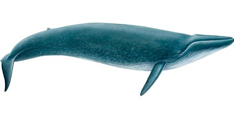 images of a whale blue whale facts history useful information and amazing