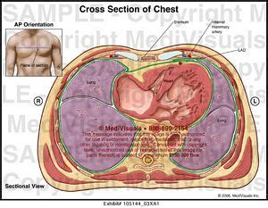 thoracic cavity cross section chest cross section medical illustration medivisuals