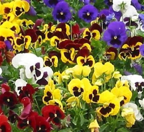 Benih Bunga Pansy Swiss Mixed Mrfothergills bibit bunga pansy swiss