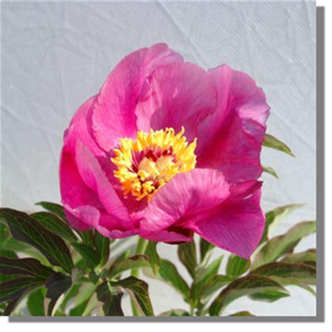 Blumen Die Im Mai Blühen 1787 by Stauden Stade Versand Shop Paeonia Officinalis Mollis