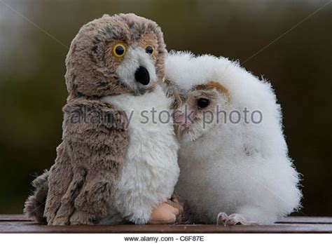 Barn Baby baby owl stock photos baby owl stock images
