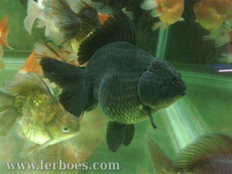 Pakan Burayak Ikan Arwana cara merawat telur dan burayak ikan koki ferboes