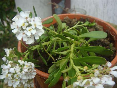 pianta grassa con fiori pianta grassa con fiore bianco foto dei fiori e delle