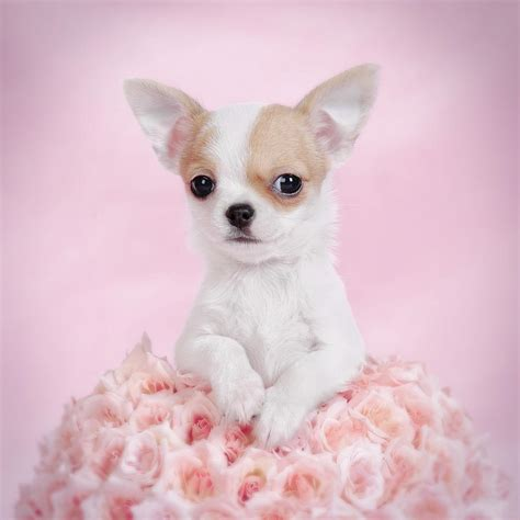 chihuahua puppies chihuahua puppy portrait photograph by waldek dabrowski