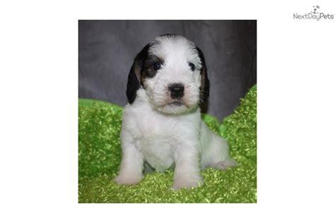 pbgv puppies for sale meet giddi a petit basset griffon vendeen puppy for sale for 1 095 akc giddi pbgv