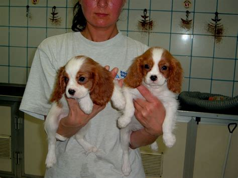 cavalier king cavalier king s house s caring association