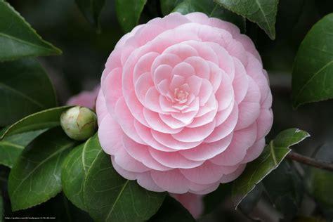 red camellia flower wallpaper 1024x768 resolution download wallpaper flower camellia pink macro free