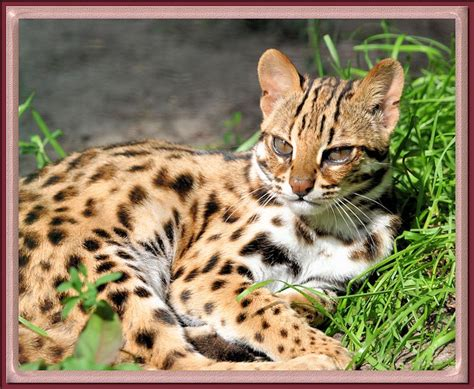 leopard house cat asian leopard cats